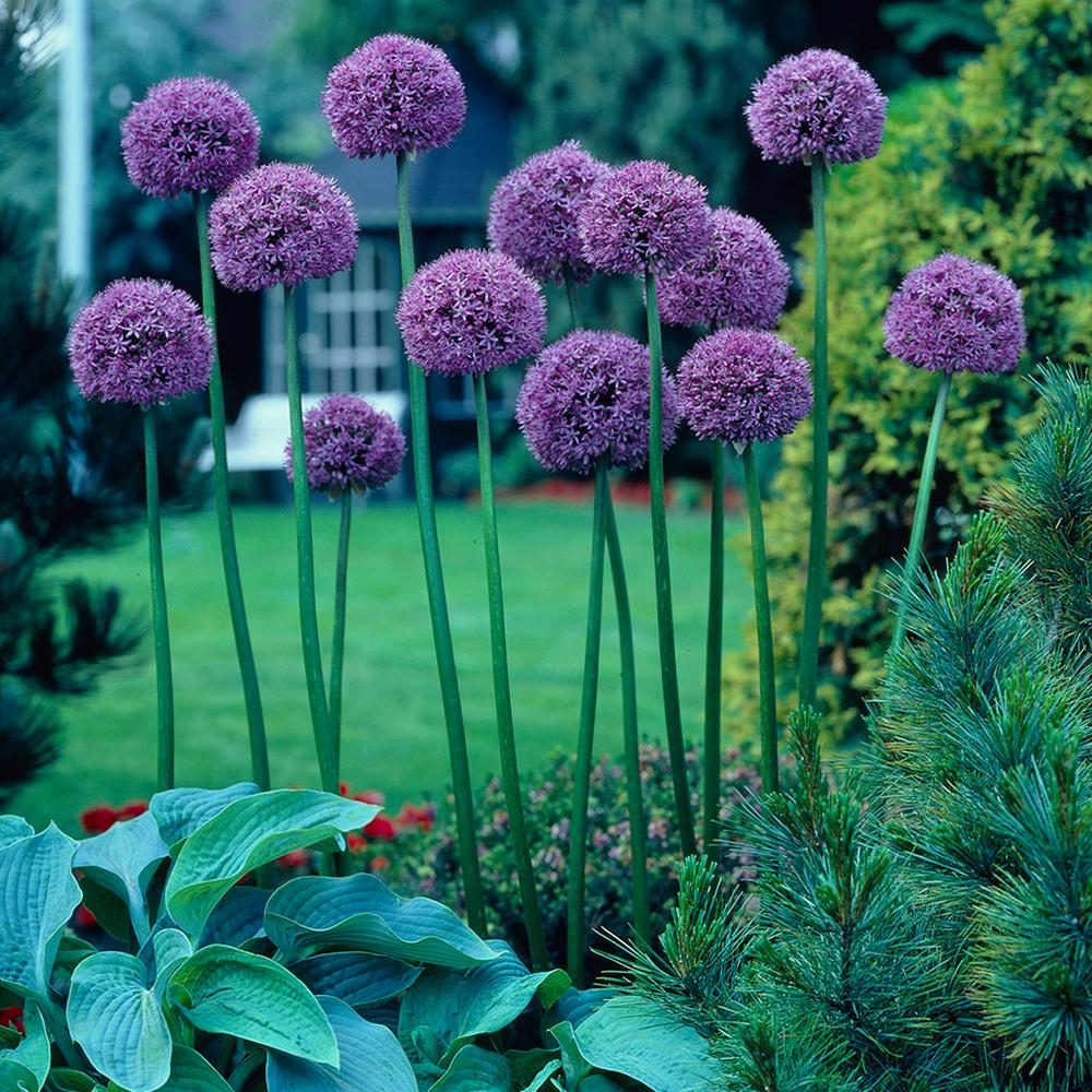Image result for globemaster allium garden answer