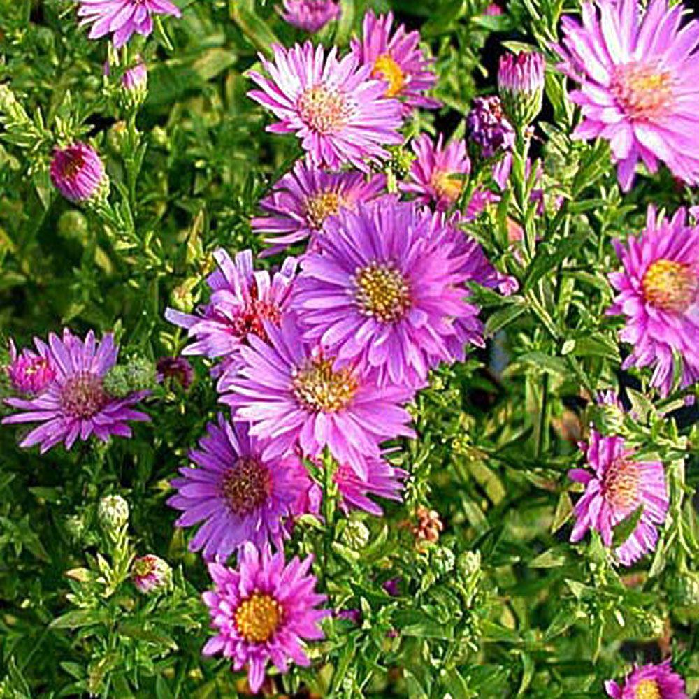 Onlineplantcenter 1 Gal Woods Pink Aster Plant A156cl The Home Depot