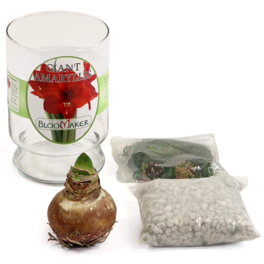 BlooMaker Red-White Blooming Minerva Giant Amaryllis Bulb Paris Vase Kit