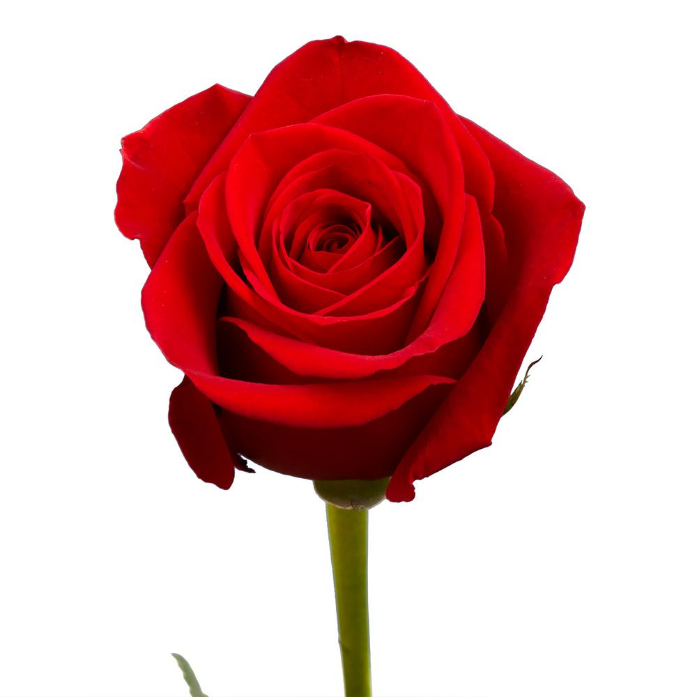 Globalrose 100 Red Roses Fresh Flower Delivery Prime 100 Red Roses