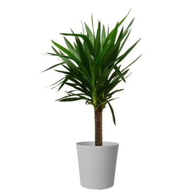 Yucca Cane in 8.75 in. Gray Decor Pot