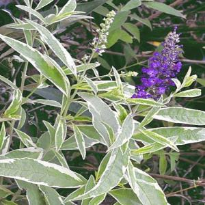 2 gal. Harlequin Variegated Butterfly Bush Plant
