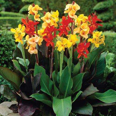 Cannas Giant Tall Mixed Bulbs (Set of 6)
