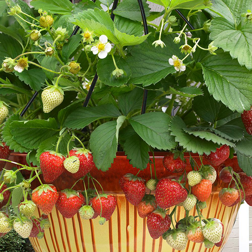 Van zyverden cosmopolitan hanging strawberry basket set of 10 833481 the home depot - Plant strawberries spring ...
