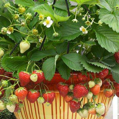 Cosmopolitan Hanging Strawberry Basket (Set of 10)