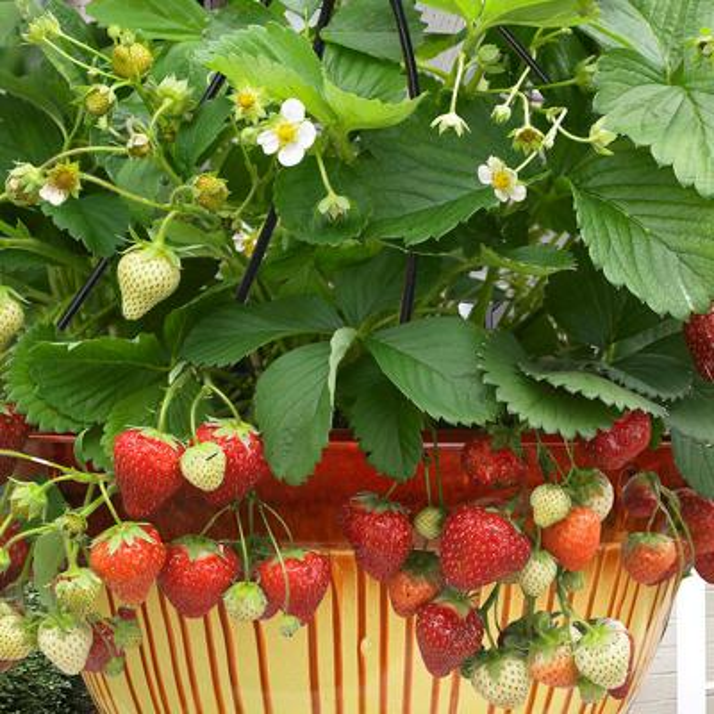 Cosmopolitan Hanging Strawberry Basket (Set of 10)