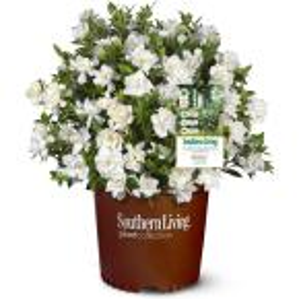 2 g Jubilation Gardenia Shrub with Fragrant White Flowers