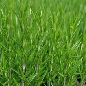 3.5 in. Arp Rosemary Culinary Herb Plant
