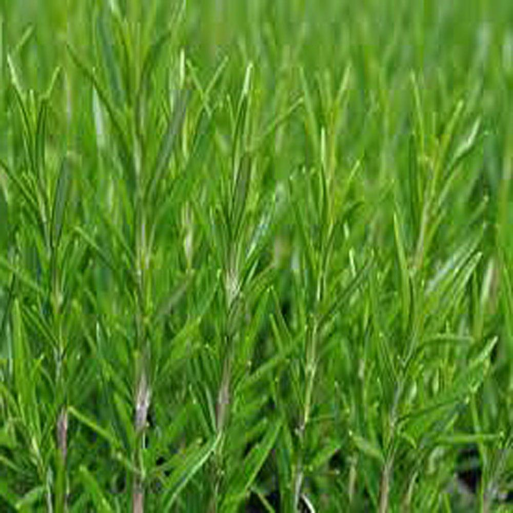 OnlinePlantCenter 1 gal. Arp Rosemary Culinary Herb Plant with 8 in. Pot