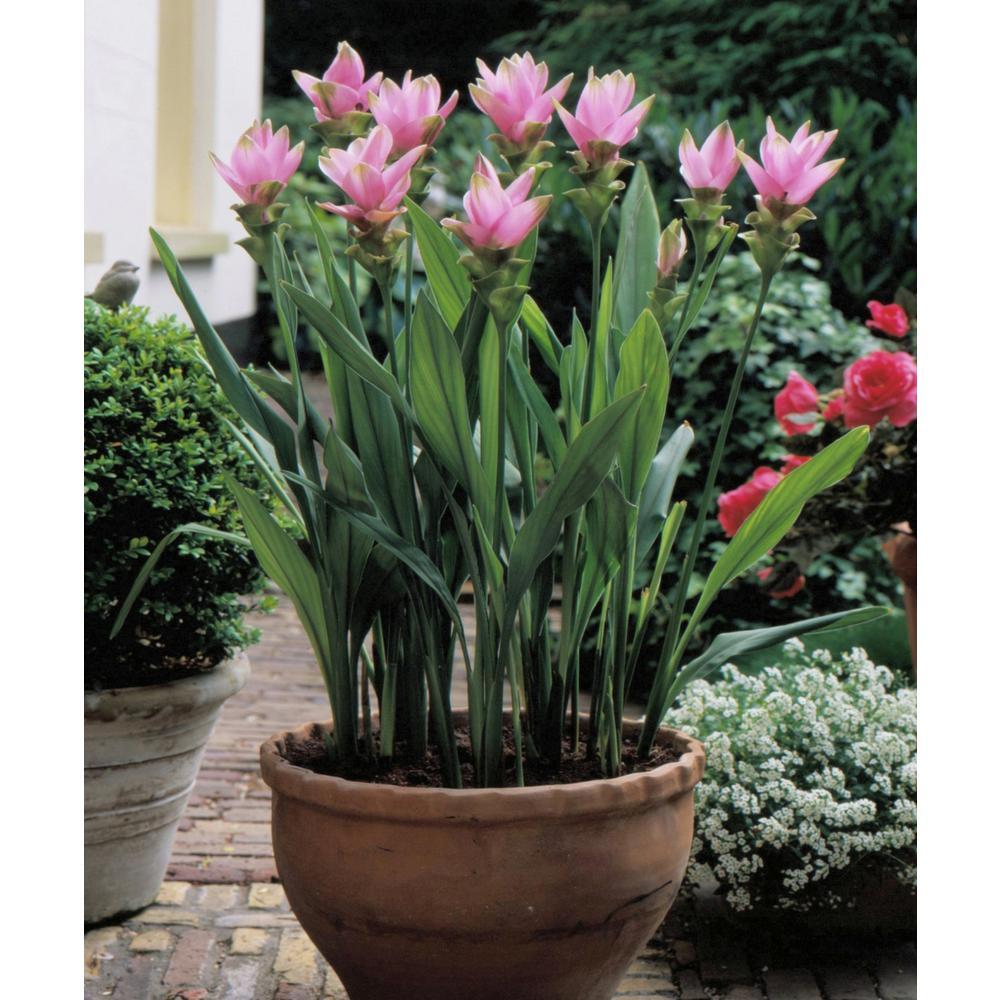 2.5 Qt. Curcuma Pink Bloom Plant