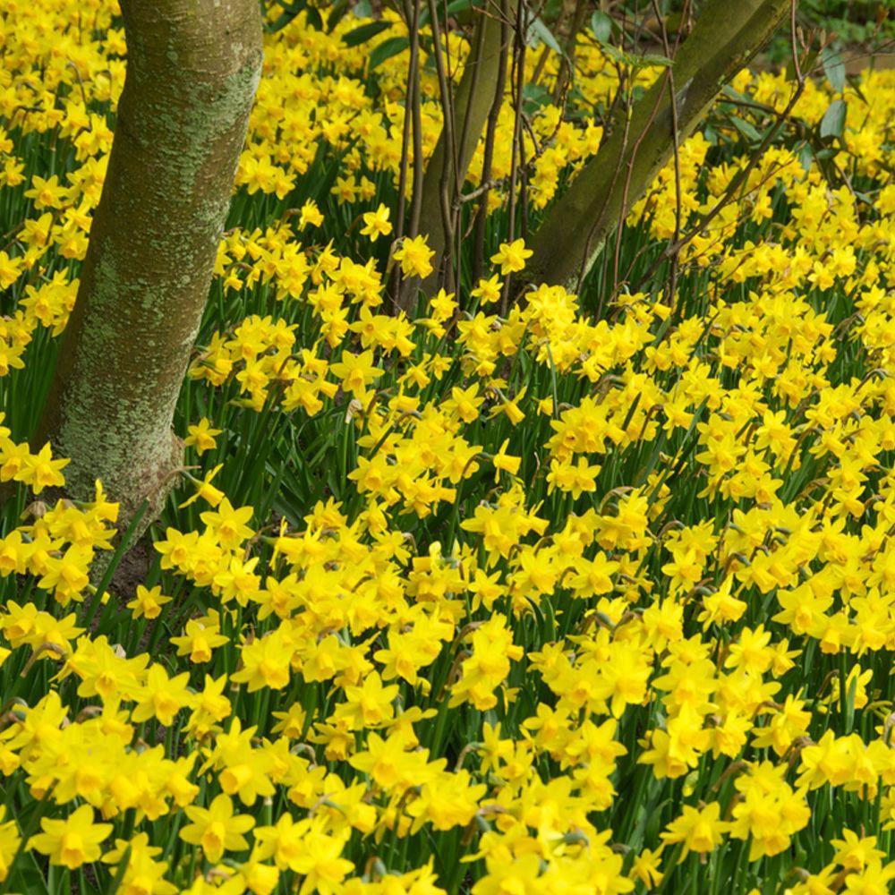 Daffodil Tete-a-Tete Flower Bulb (25-Pack)