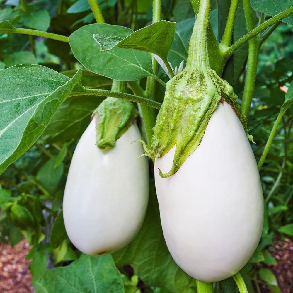 Bonnie Plants 4.5 in. White Eggplant