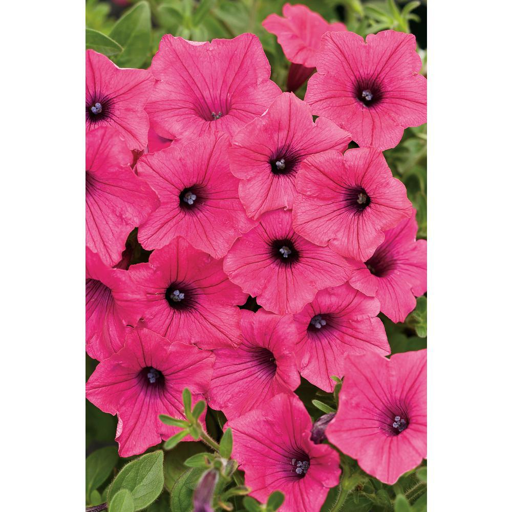 Supertunia Vista Fuchsia (Petunia) Live Plant, Pink Flowers, 4.25 in. Grande,4-pack