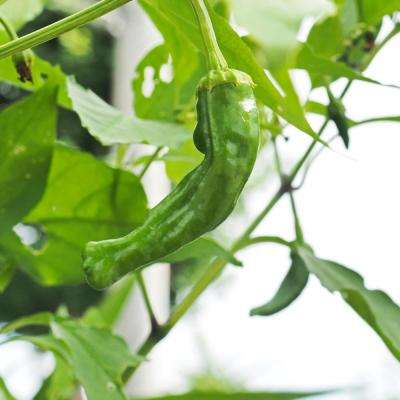 4 oz. Shishito Hot Pepper Garden Seeds Non-GMO Open Pollinated Japanese Vegetable Gardening Seeds