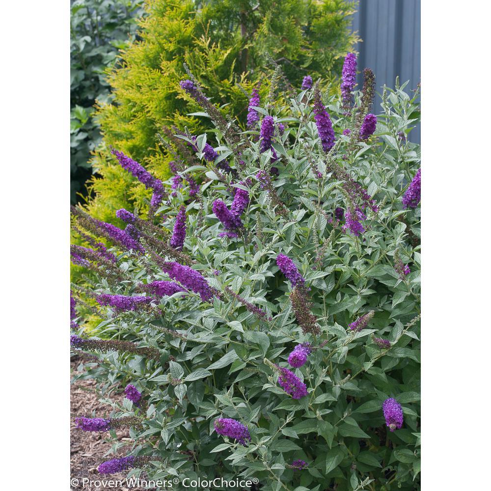 Proven Winners 1 Gal Miss Violet Butterfly Bush Buddleia Live Shrub Purple Flowers