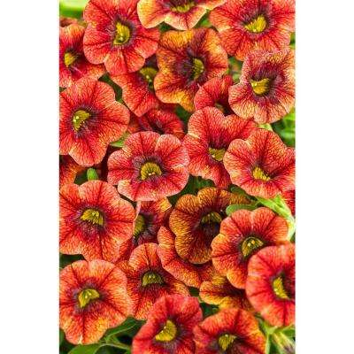 Superbells Spicy (Calibrachoa) Live Plant, Orange-Yellow Flowers, 4.25 in. Grande, 4-pack