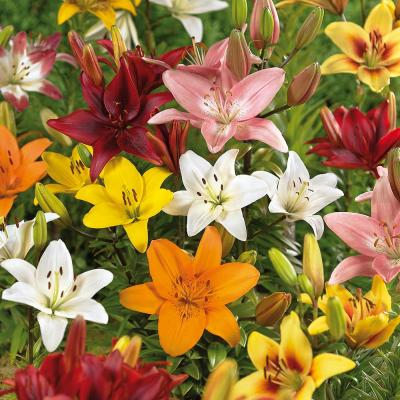 Lilies Bulbs Asiatic Mixed (Set of 12)