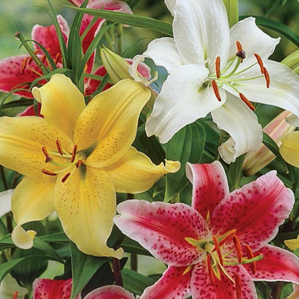 Brecks Stargazer Lilies Mixed Bulbs 10 Pack 89388 The Home Depot