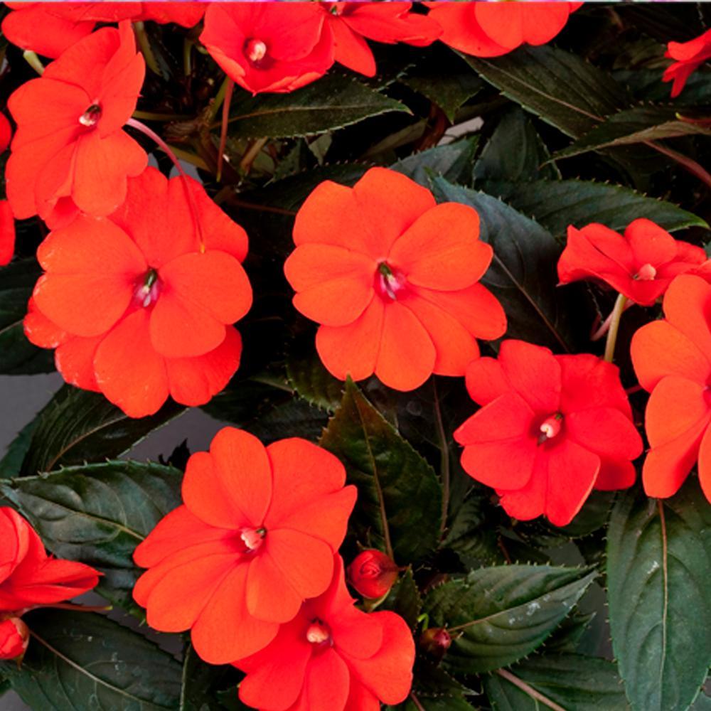 SunPatiens Compact Orange (Impatiens) Live Plant, Orange Flowers, 4.25 in. Grande, 4-pack