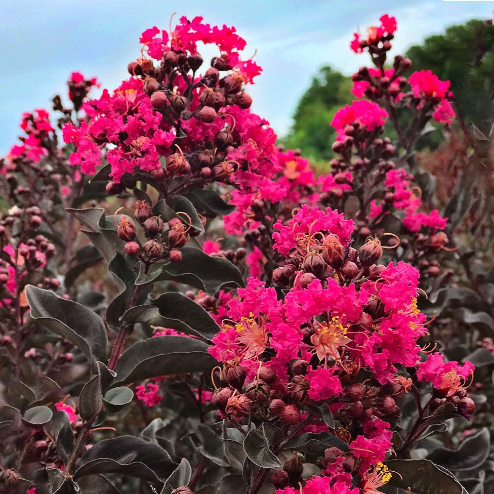 1 Gal. Black Diamond Mystic Magenta Crape Myrtle Tree