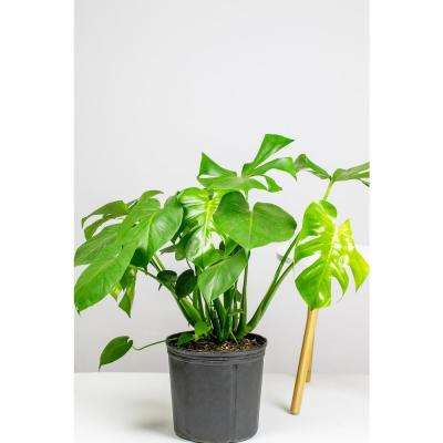 Monstera Deliciosa - Swiss Cheese Plant in 10 in. Grower Pot
