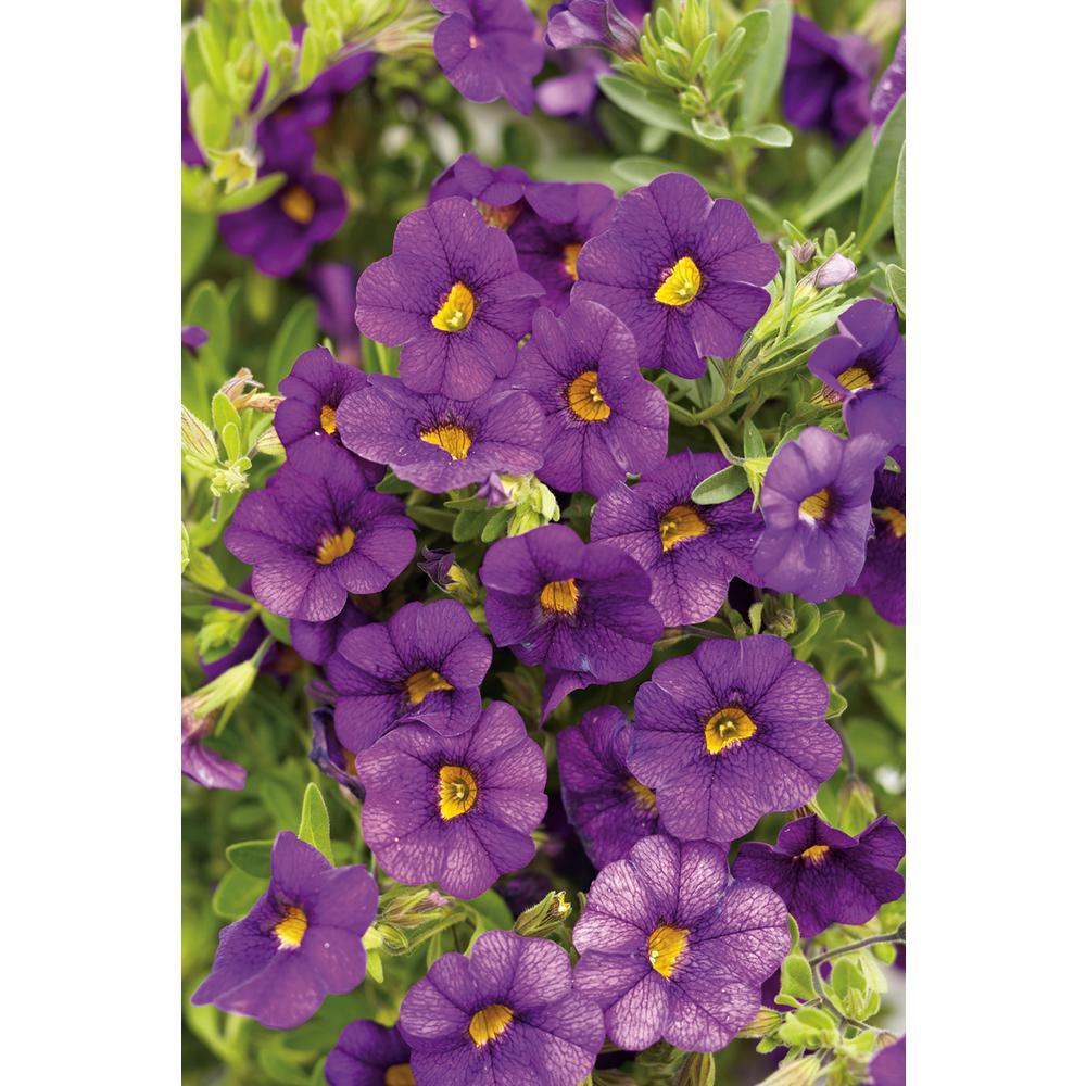 Superbells Blue(Calibrachoa) Live Plant, Blue-Purple Flowers, 4.25 in. Grande, 4-pack