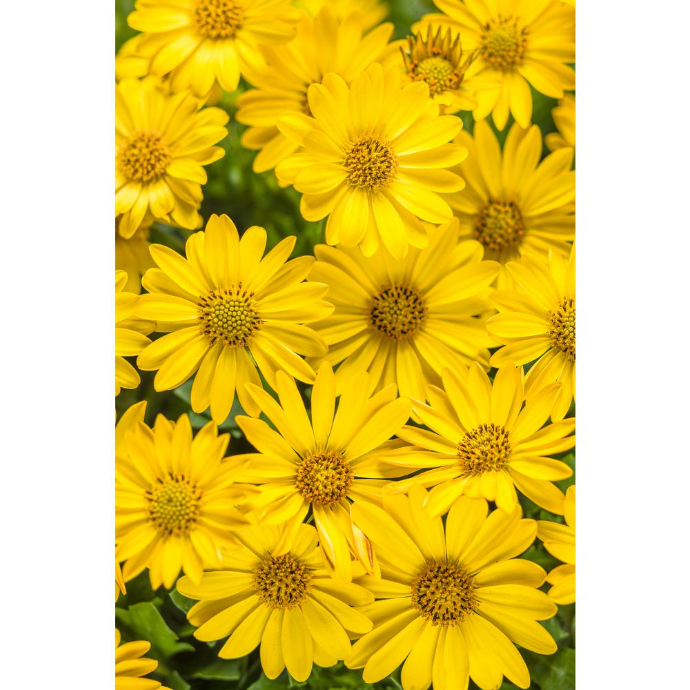 Yellow daisy annuals garden plants flowers the home depot bright lights yellow african daisy osteospermum live plant yellow flowers 425 in mightylinksfo