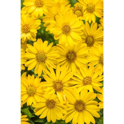 4-pack, 4.25 in. Grande Bright Lights Yellow AfricanDaisy(Osteospermum) Live Plant, Yellow Flowers