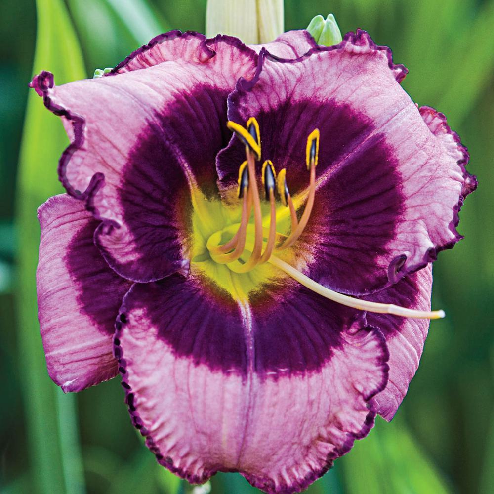 MacBeth Reblooming Daylily (Hemerocallis) Live Bareroot Perennial Plant Lavender Flowers (1-Pack)