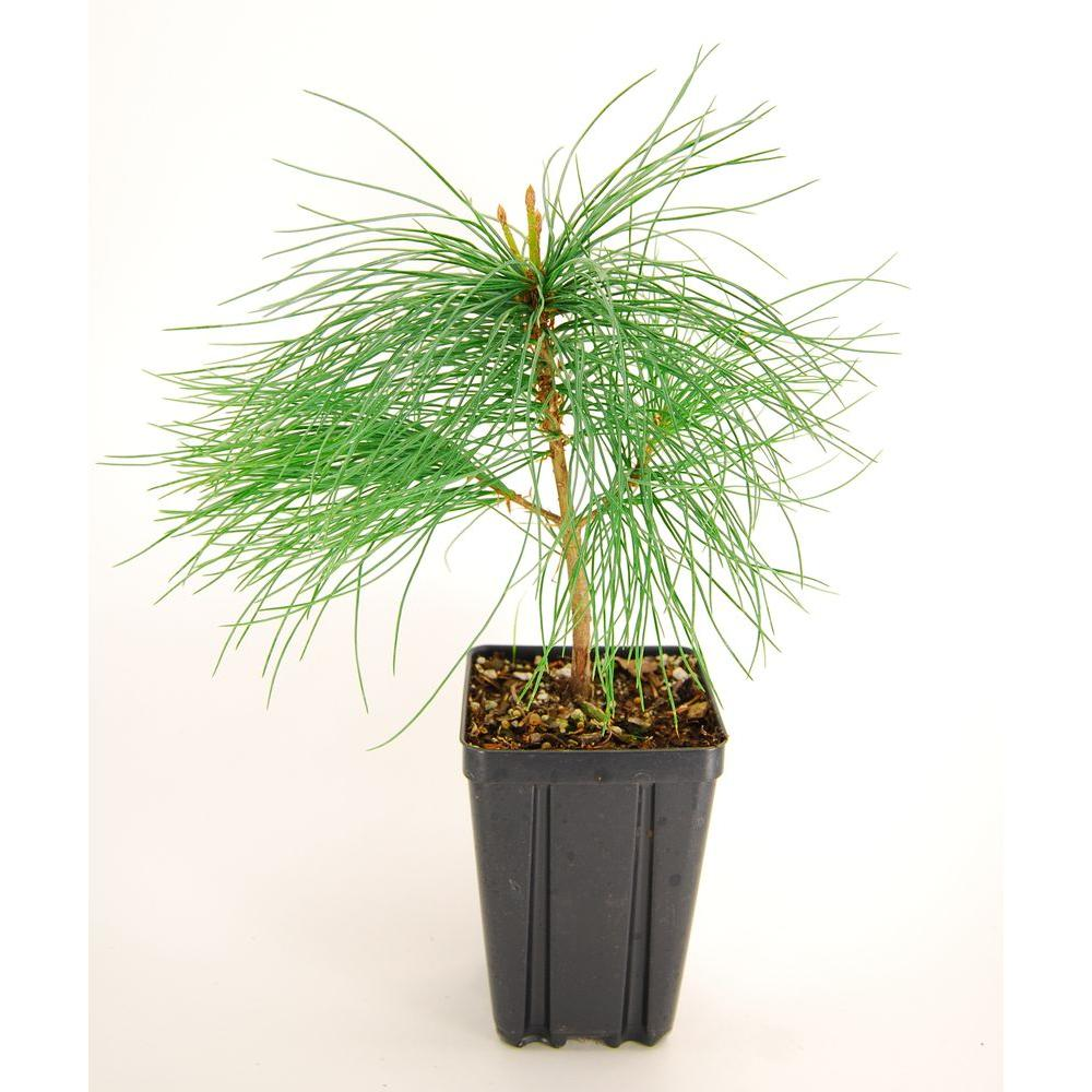 Evergreen Nursery White Pine Potted Tree