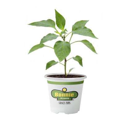 4.5 in. 19.3 oz. Pepper-Bonnie's Green Bell
