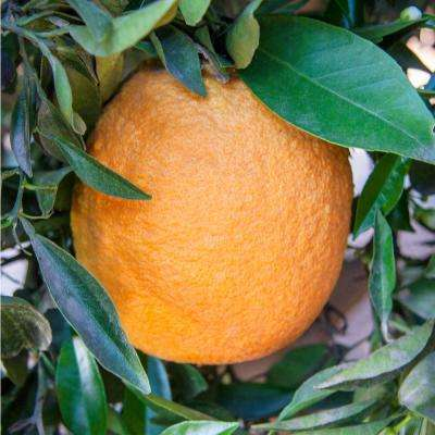 2 in. Pot Navel Orange Tree, Live Fruiting Tropcial Tree in White Flowers to Orange Fruit (1-Pack)