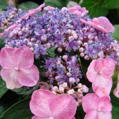 3 Gal. Twist N Shout Hydrangea(Macrophylla) Live Deciduous Shrub, Pink or Blue Lace-cap Blooms