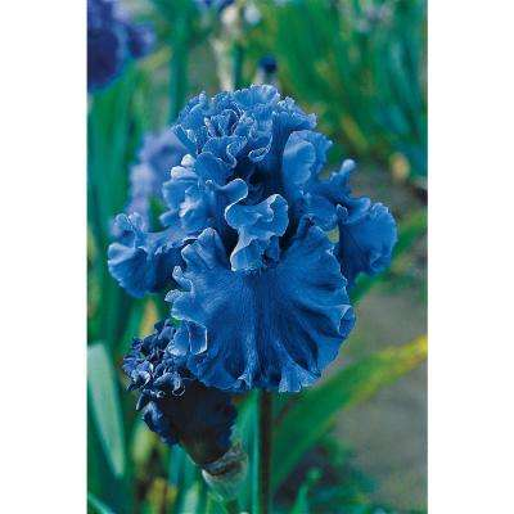Sea Power Bearded Iris Blue Flowers Live Bareroot Plant