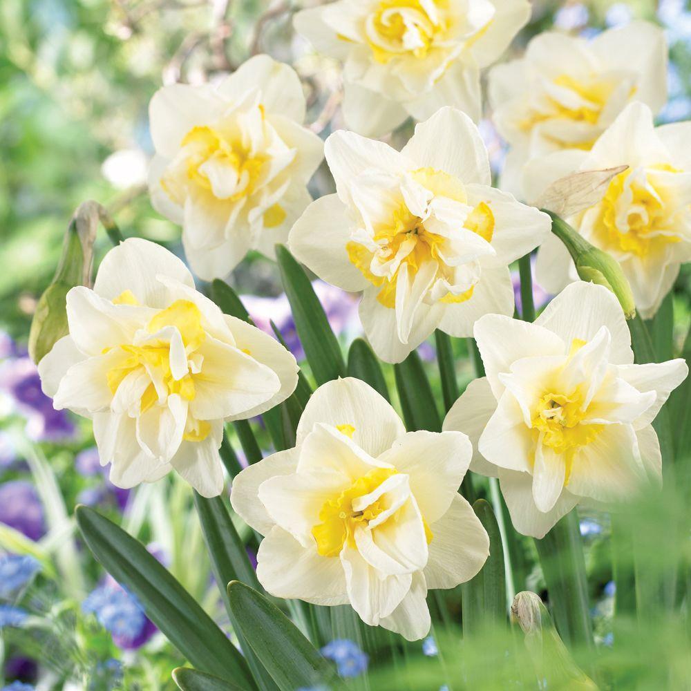 Martha Stewart Living Daffodil White Lion Dormant Bulbs (54-Pack)
