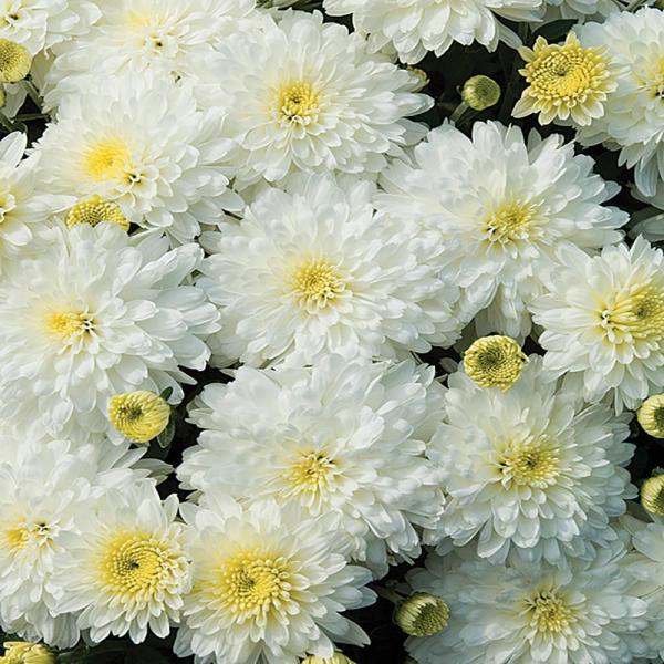 Unbranded 1 71 Pint White Chrysanthemum Plant 17103 The Home Depot