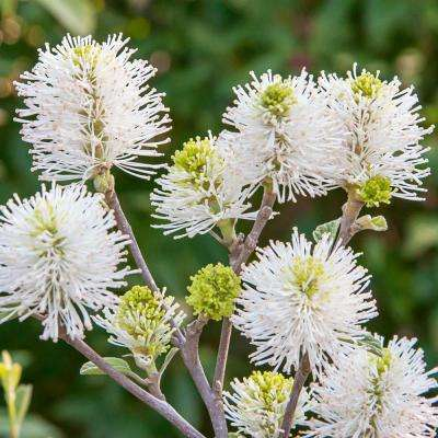 5 in. Pot Mt. Airy Fothergilla Live Potted Plant with White Flowering Shrub (1-Pack)