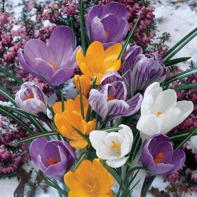Botanical Crocus Bulbs Mixture (50-Pack)