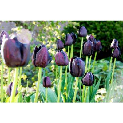 Queen of Night Tulip (10-Pack)