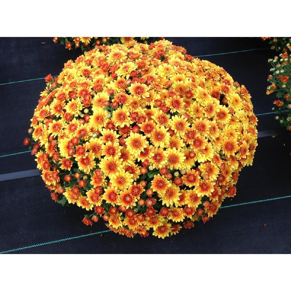 8 in. Orange Chrysanthemum Plant with Orange Blooms