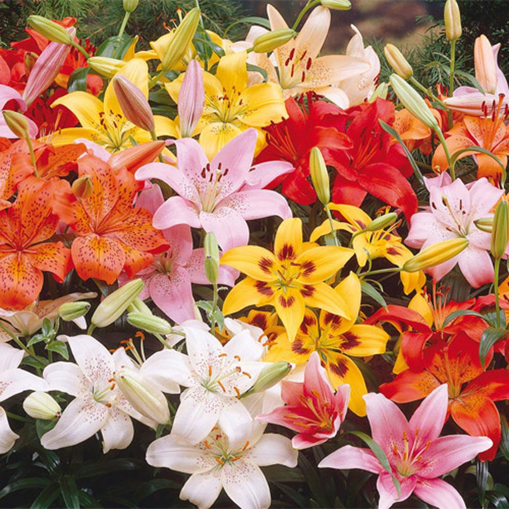 Asiatic Lily Mixed Bulbs (25-Pack)