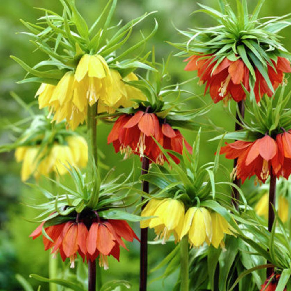 Van Zyverden Orange And Yellow Fritillaria Blend Bulbs 3 Pack