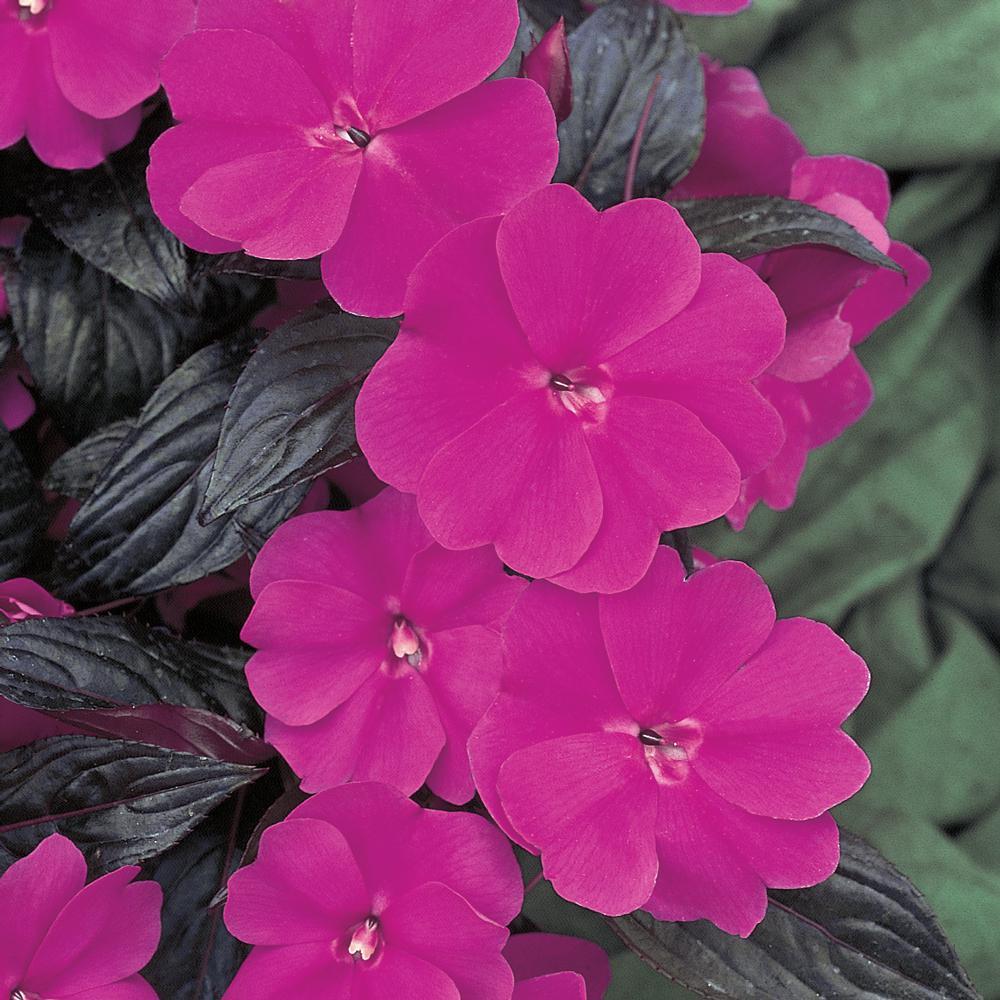 1 Qt. SunPatiens Purple Impatiens Plant