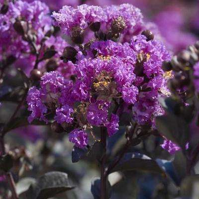 Black Diamond Purely Purple Crape Myrtle Dormant Packaged Tree