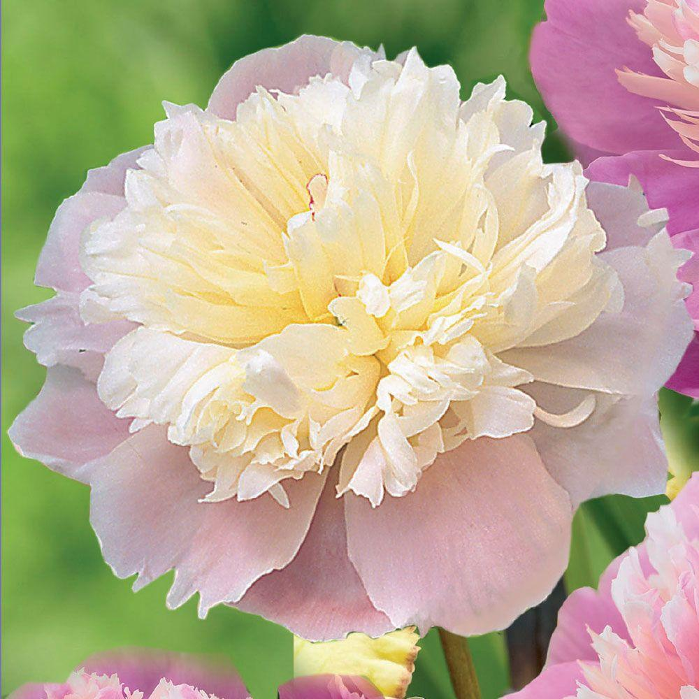Pink spring to summer flower bulbs garden plants flowers 2 eye to 3 eye lady alexandra duff peony bulb mightylinksfo