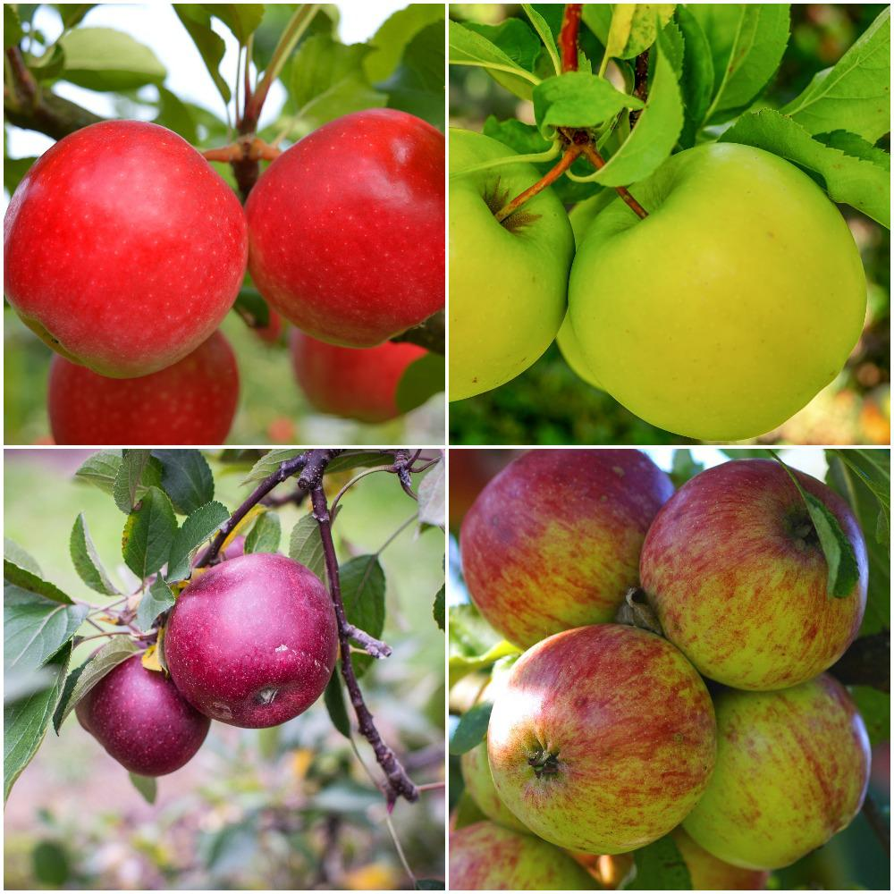 Online Orchards 4-in-1 Apple Jubilee Tree Bare Root