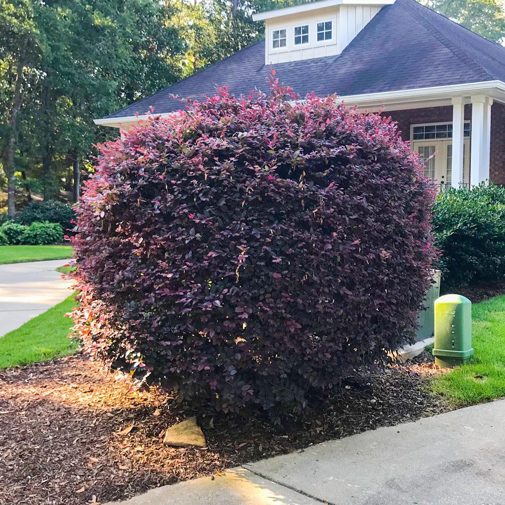 2.5 Qt. Ruby Loropetalum, Evergreen Shrub, Purple Foliage