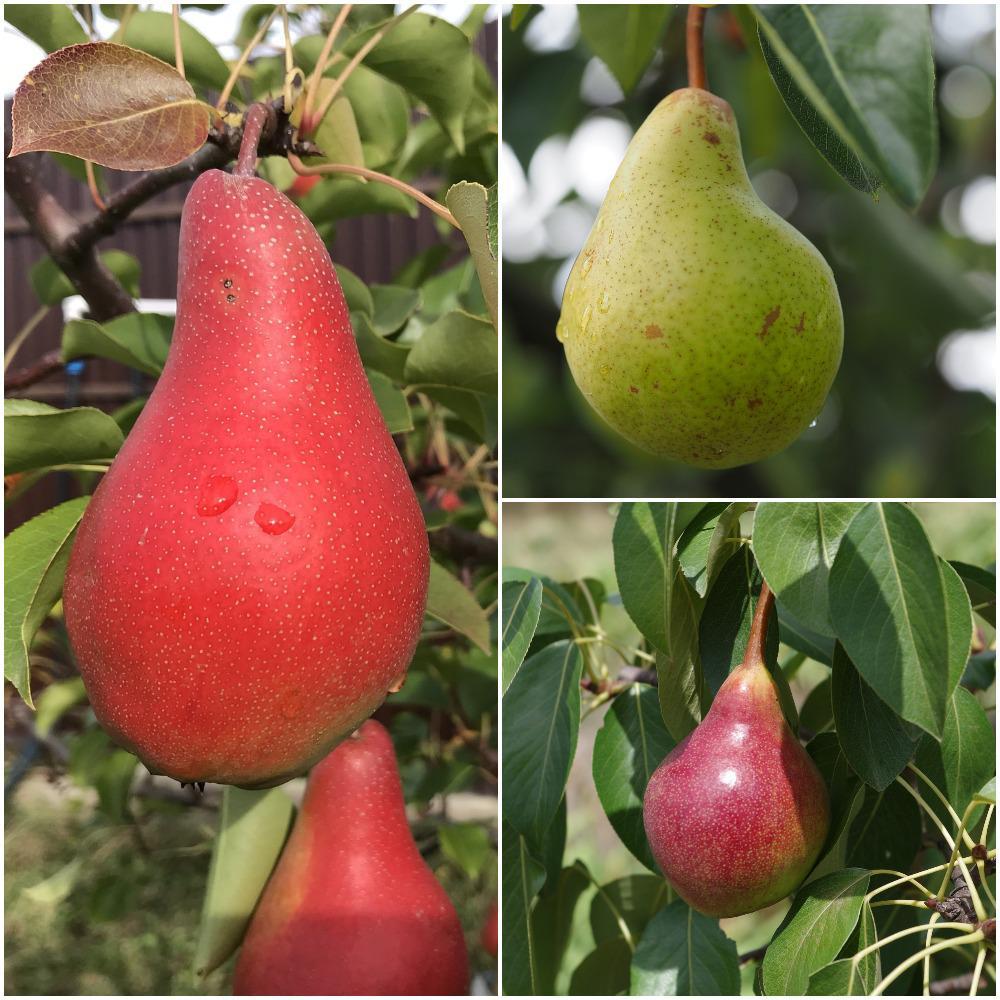 3-in-1 Pear Jubilee Tree
