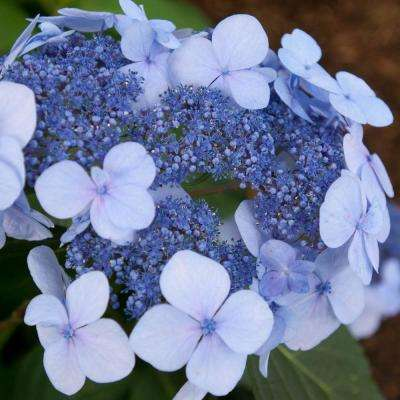 4 in. Pot Endless Summer Twist-N-Shout Hydrangea Live Deciduous Plant, Blue or Pink Flowering Shrub (1 Pack)