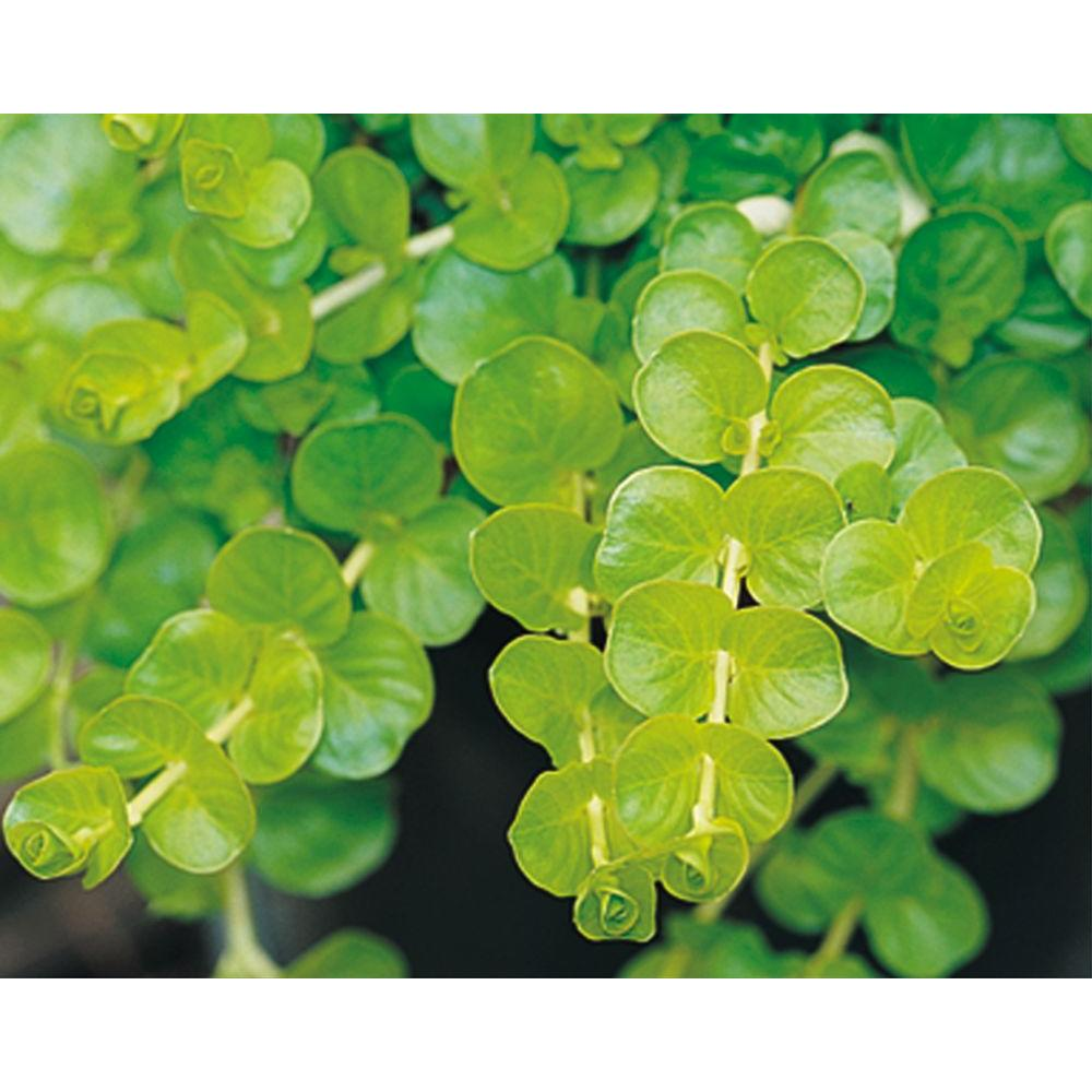 Goldilocks Creeping Jenny Lysimachia Live Plant